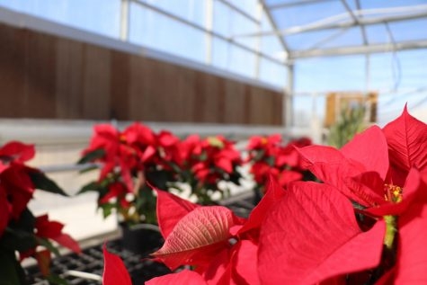 Poinsettias in the Rock Hill Greenhouse soak up the sun. Floral design students study plants like these in their classroom. All students will start the third nine weeks on Tuesday, Jan. 5.